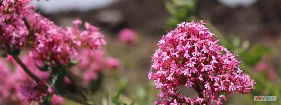 Blommor på Etna