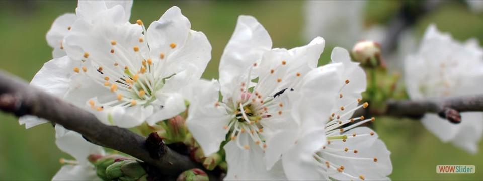 Mandel blommor